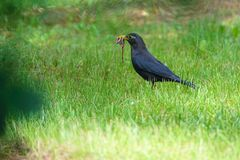 Eurasian Thrush. The Eurasian Thrush preys on earthworm in grassland Royalty Free Stock Photo
