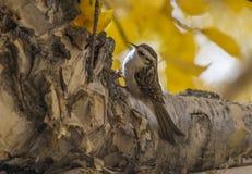Eurasian tree creeper Stock Photo