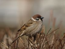 Eurasian Tree Sparrow. (Passer montanus Royalty Free Stock Photo