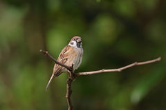 Eurasian tree Sparrow Royalty Free Stock Photography