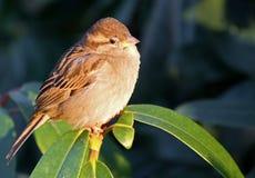 Eurasian tree sparrow. Royalty Free Stock Photography