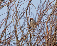 Eurasian Tree Sparrow. Uncommon Eurasian Tree Sparrow male perched in tangle of branches Royalty Free Stock Photos