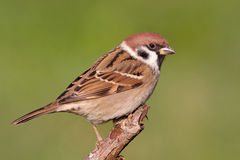 Eurasian Tree Sparrow Royalty Free Stock Photo