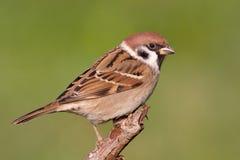 Eurasian Tree Sparrow royalty free stock photo