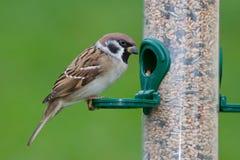Eurasian Tree Sparrow Royalty Free Stock Images