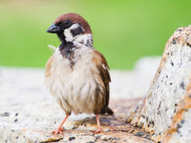 Eurasian Tree Sparrow. Sitting on a stone royalty free stock images