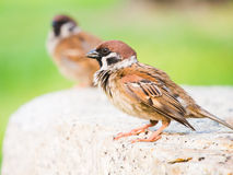Eurasian Tree Sparrow. Sitting on a stone royalty free stock photography