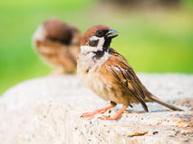Eurasian Tree Sparrow. Sitting on a stone royalty free stock photos