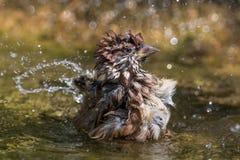 Eurasian Tree Sparrow Royalty Free Stock Photos