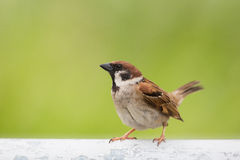Eurasian Tree Sparrow. Standing with green background Stock Photos