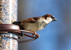 Eurasian Tree Sparrow beautiful colorful bird eating seeds from a bird seed feeder during summer in Michigan. Pretty avian with yellow, brown, grey, white and stock image