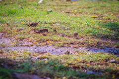 Eurasian Tree Sparrow bird is looking for food on grass field in Royalty Free Stock Photos