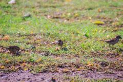 Eurasian Tree Sparrow bird is looking for food on grass field in Stock Image