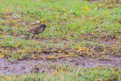 Eurasian Tree Sparrow bird is looking for food on grass field in Royalty Free Stock Photography