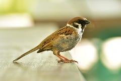 Eurasian Tree Sparrow bird sitting Stock Images