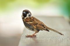 Eurasian Tree Sparrow bird sitting Royalty Free Stock Photo