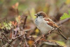 Eurasian tree sparrow. On the branch stock photos