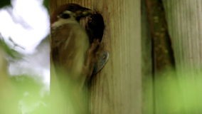 Eurasian tree sparrow in Brummen feeds insect, Netherlands stock video footage