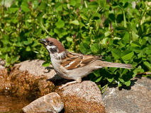 Eurasian Tree Sparrow drinking water Royalty Free Stock Photo