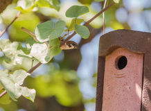 Eurasian Tree Sparrow entering nest box Stock Photo