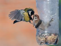 Eurasian Tree Sparrow and Great Tit fights near feeder. Eurasian Tree Sparrow and Great Tit struggling into birdfeeder royalty free stock images