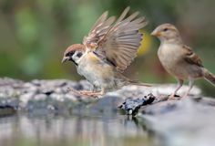 Eurasian Tree Sparrow grand leap into water with lifted wings. Eurasian Tree Sparrow jumping into water with open wings stock photography