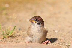 Eurasian Tree Sparrow juvnile Stock Photo