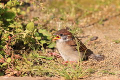 Eurasian Tree Sparrow juvnile Stock Images