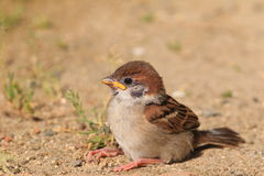 Eurasian Tree Sparrow juvnile Royalty Free Stock Image