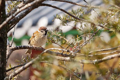 Eurasian tree sparrow Lat. Passer montanus royalty free stock photos