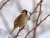 Eurasian tree sparrow. The little bird on the brown branch Royalty Free Stock Image