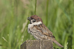 Eurasian tree sparrow Stock Photos