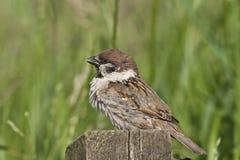Eurasian tree sparrow. Male Eurasian Tree Sparrow sitting on fence Stock Photos