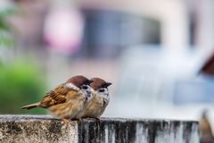 Eurasian Tree Sparrow. Moment looking away together Stock Photo