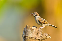 Eurasian Tree-Sparrow Royalty Free Stock Photography
