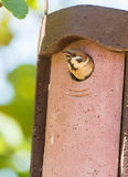 Eurasian Tree Sparrow open beak at nest box Stock Image