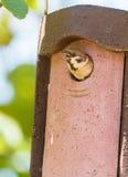 Eurasian Tree Sparrow open beak at nest box Stock Image