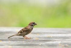Eurasian tree sparrow and paddy in mouth standing on wood table Royalty Free Stock Images