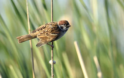 The Eurasian tree sparrow Stock Images