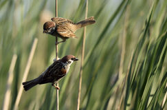 The Eurasian tree sparrow (Passer montanus) Royalty Free Stock Photography