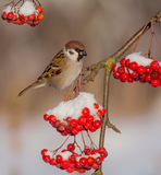 Eurasian Tree Sparrow - Passer montanus Stock Image