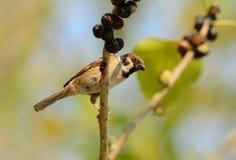 Eurasian Tree-Sparrow (Passer montanus) Royalty Free Stock Photo