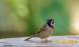 Eurasian Tree Sparrow or   Passer montanus. Royalty Free Stock Photo