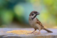 Eurasian Tree Sparrow or   Passer montanus. Royalty Free Stock Photos