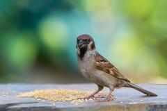Eurasian Tree Sparrow or Passer montanus. Stock Photos