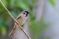 Eurasian Tree Sparrow or Passer montanus. Stock Photography