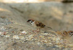 Eurasian Tree-Sparrow (Passer montanus) Stock Photos