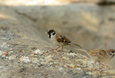 Eurasian Tree-Sparrow (Passer montanus) Stock Photography