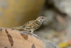 Eurasian Tree-Sparrow (Passer montanus) Royalty Free Stock Image