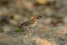 Eurasian Tree-Sparrow (Passer montanus) Stock Image